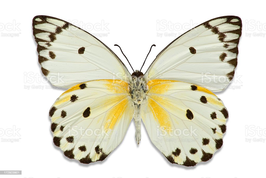 Ornate Butterfly with Hints of Yellow royalty-free stock photo