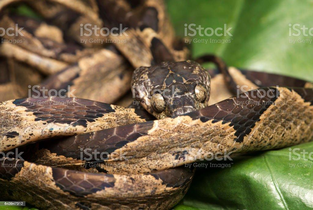 Ornate Cat-eyed Snake stock photo
