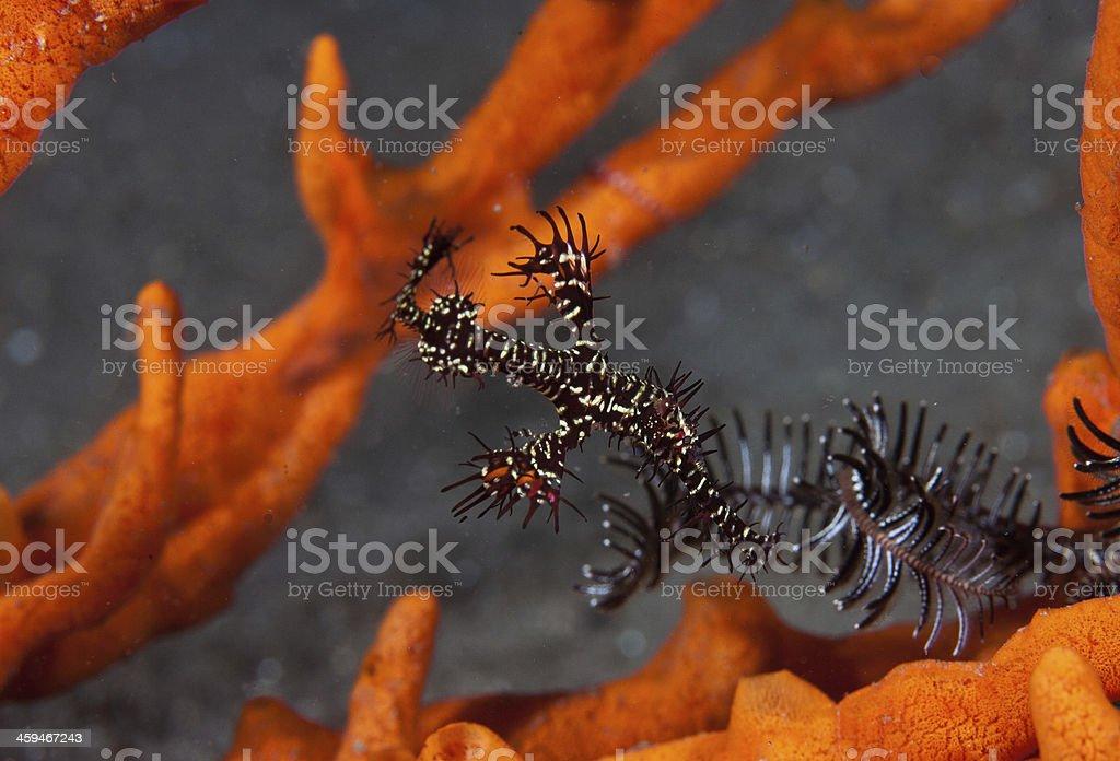 Ornate ghost pipefish on sponge and crinoid stock photo
