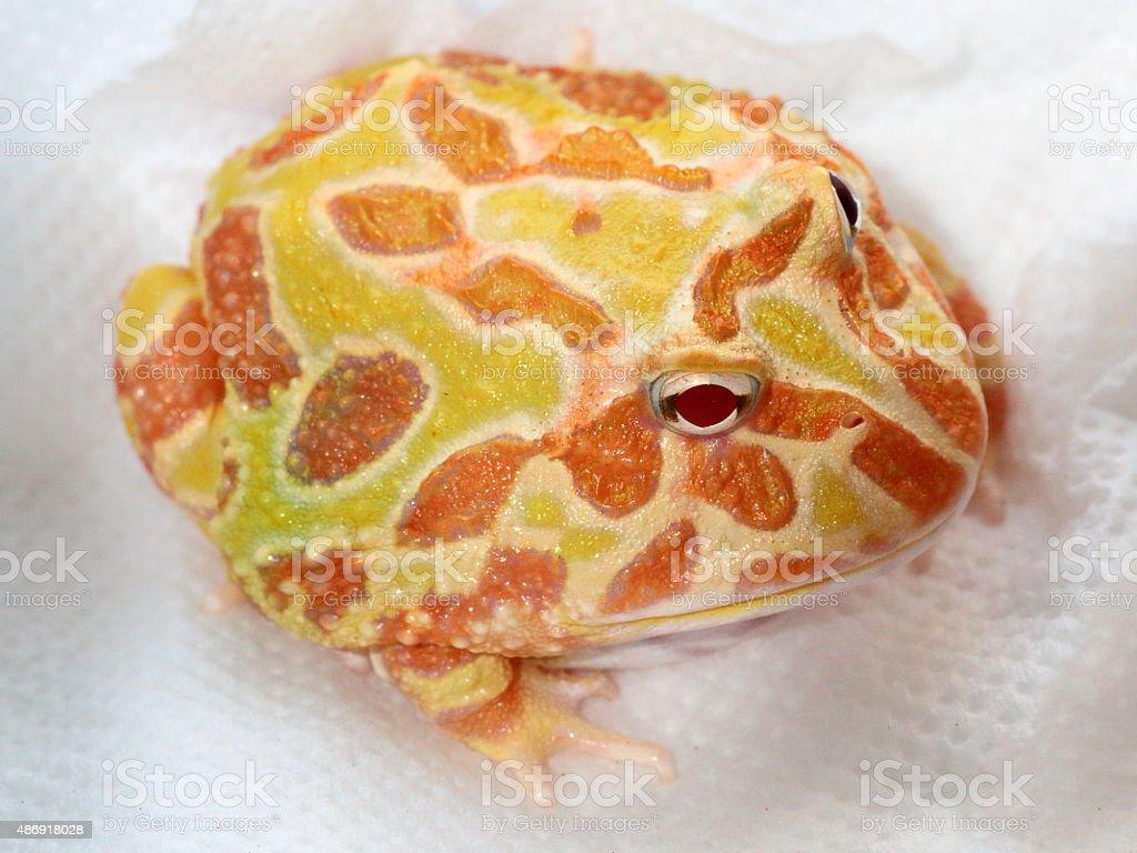 Ornate horned frog, genus Ceratophrys stock photo