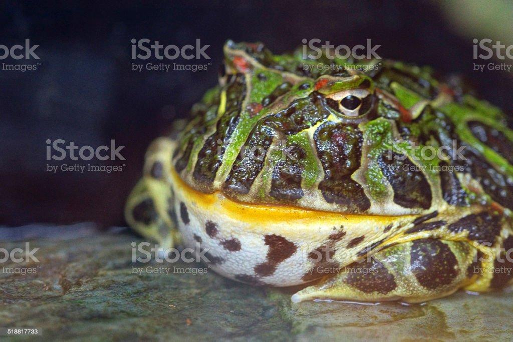 Ornate Horned Frog stock photo
