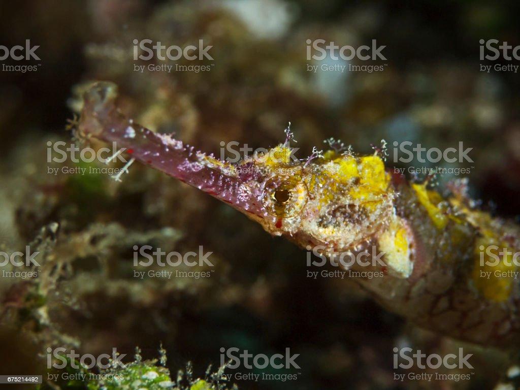 Ornate Pipefish, Flügel-Seenadel (Halicampus macrorhynchus) stock photo