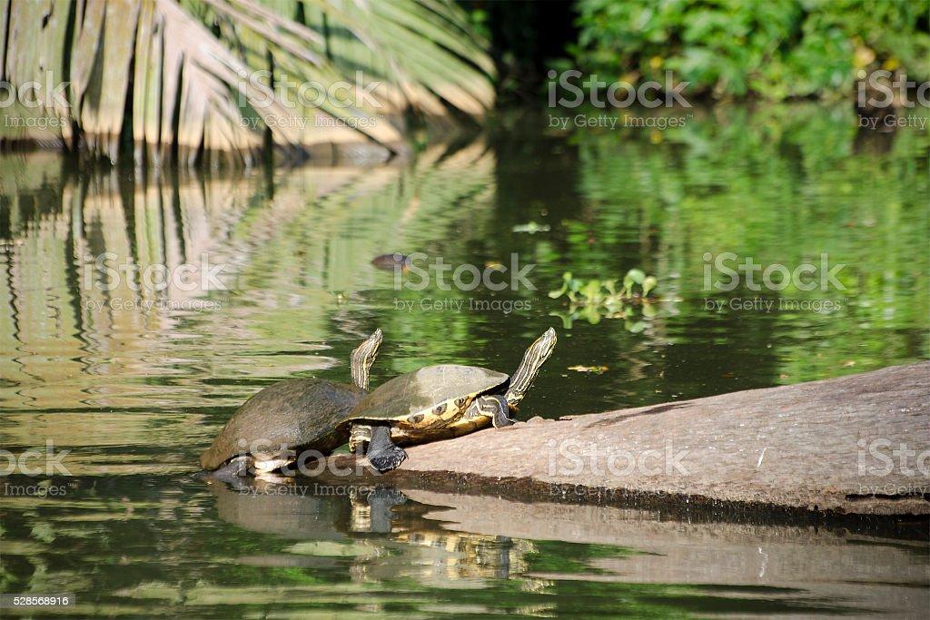 ornate slider turtle, Chrysemys ornata stock photo