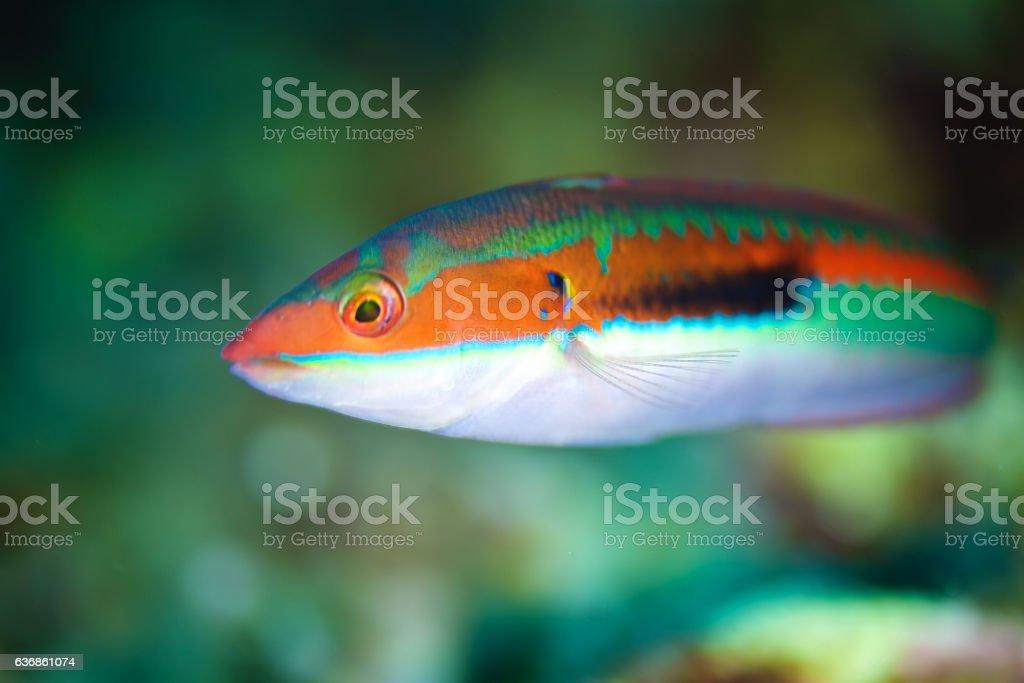 Ornate wrasse fish (Thalassoma pavo) stock photo