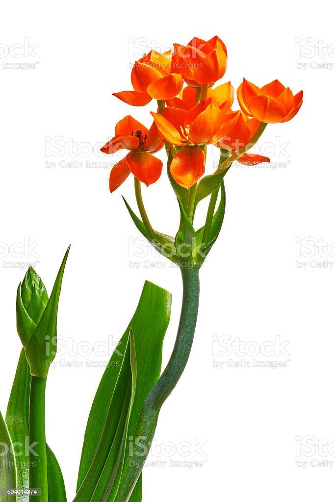 Ornithogalum Dubium flower stock photo