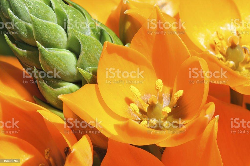 Ornithogalum Dubium or Sun Star Flower Macro stock photo