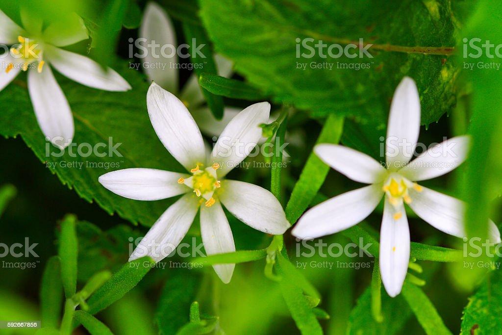 Ornithogalum plants (Ornithogalum narbonense) stock photo