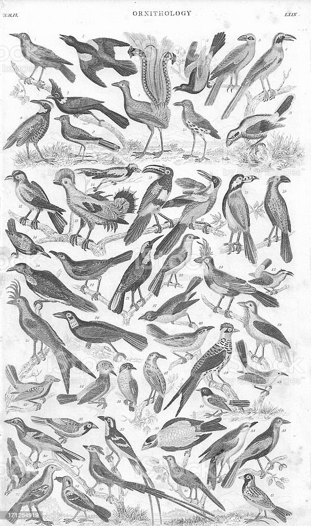 Ornithology old litho print from 1852 royalty-free stock photo