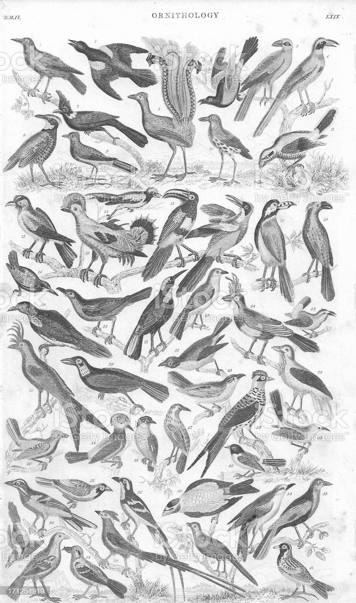 Ornithology old litho print from 1852 royalty-free stock photo