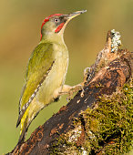 Ornithology,Picus Viridis