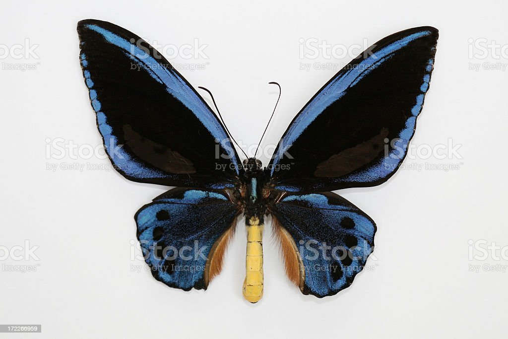 Ornithoptera Croesus Blue Butterfly Isolated on White Backfround royalty-free stock photo