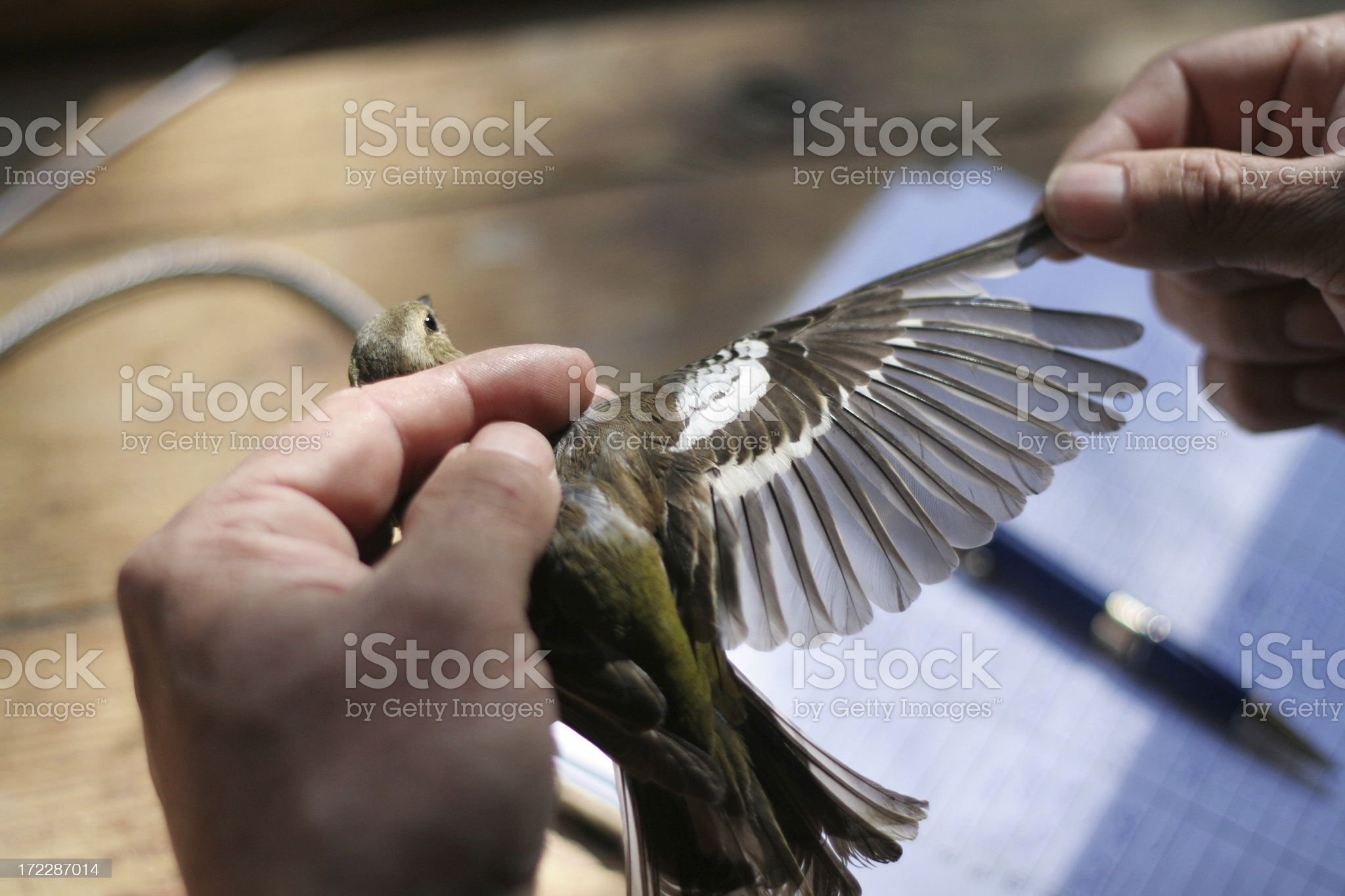 ornitologist measuring bird`s wing royalty-free stock photo