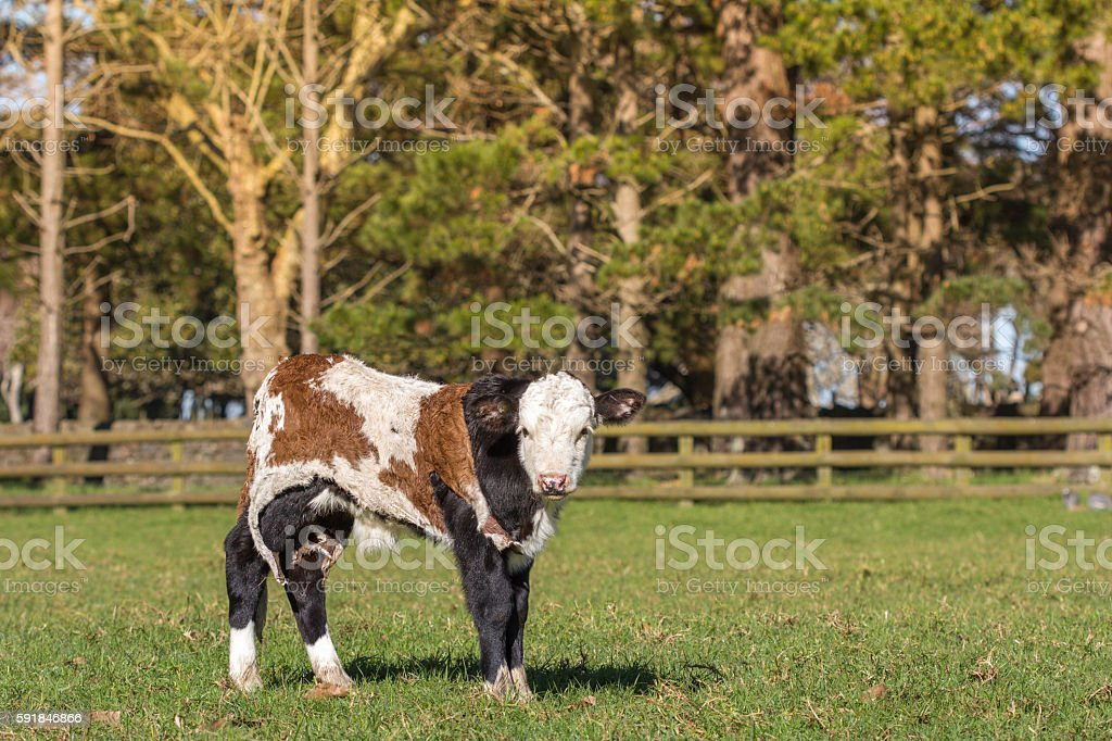 Orphan Spring Calf with Cow Hide stock photo
