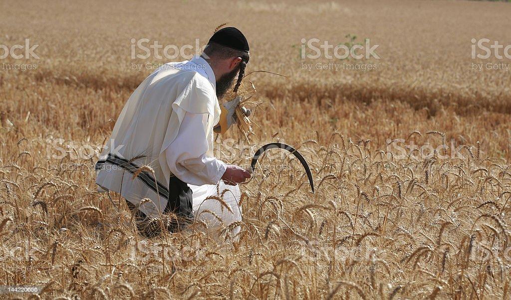 orthodox jew hand harvesting wheat royalty-free stock photo