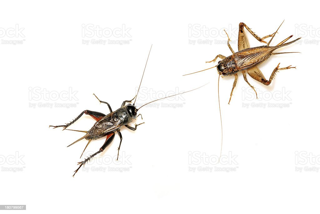 orthoptera insects - crickets royalty-free stock photo