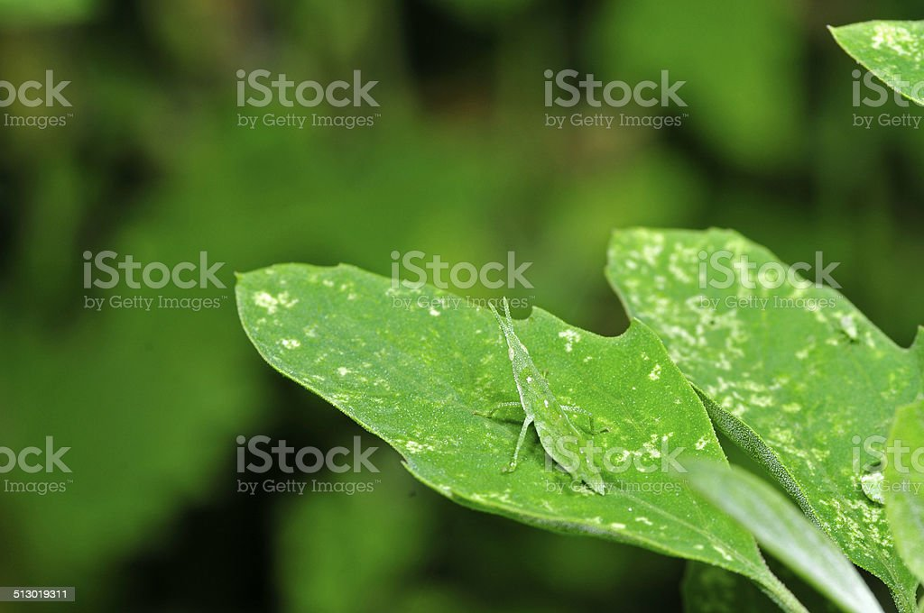 Orthoptera insects stock photo