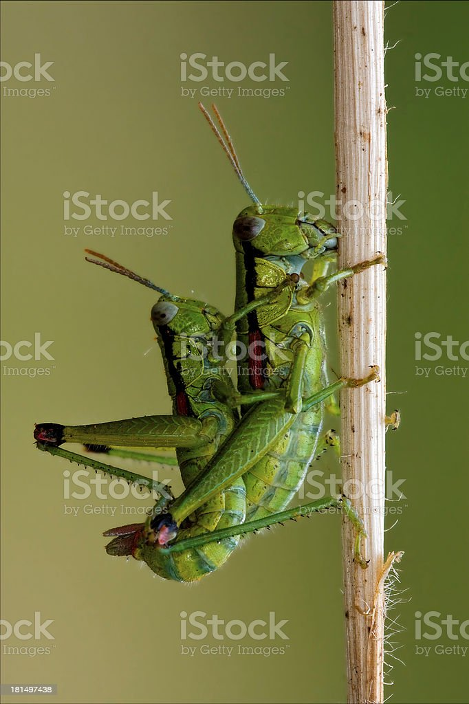 Orthopterous having sex on royalty-free stock photo