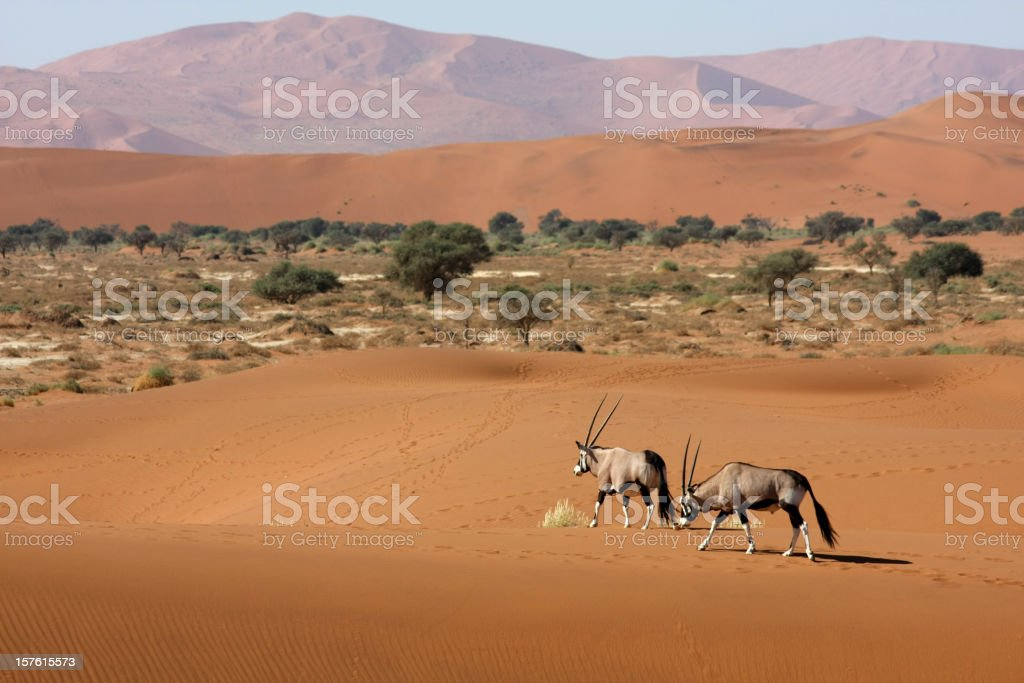 oryx antelopes in the desert stock photo