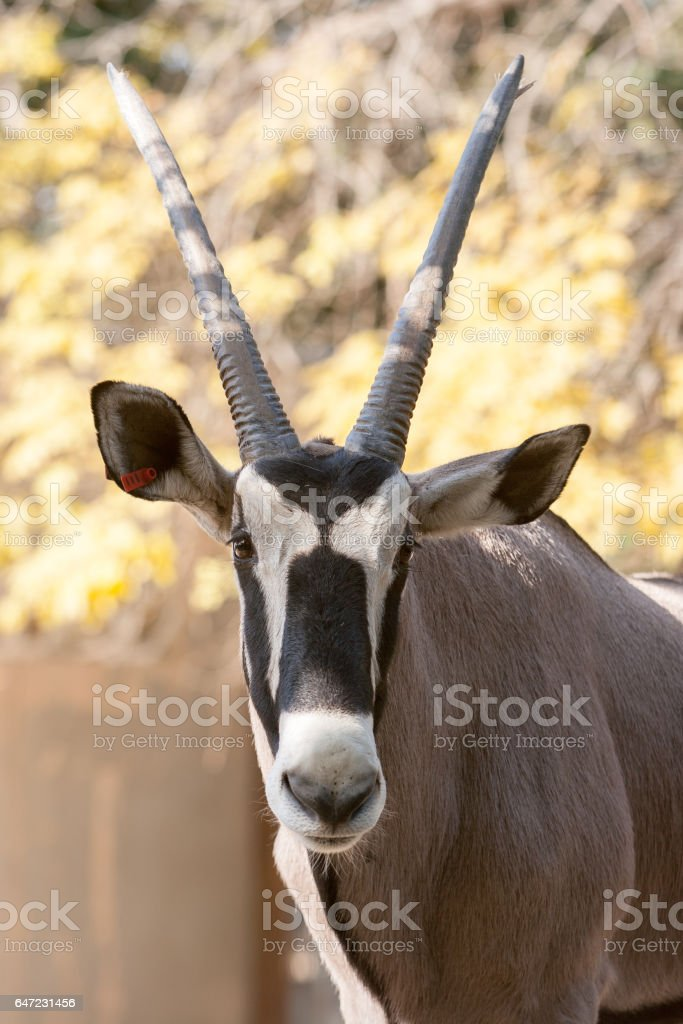 Oryx at the zoo stock photo