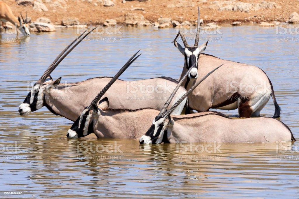 Oryx at waterhole in namibia stock photo