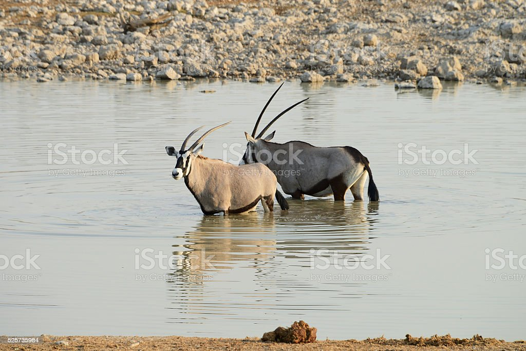Oryx, Etosha National Park, Namibia stock photo