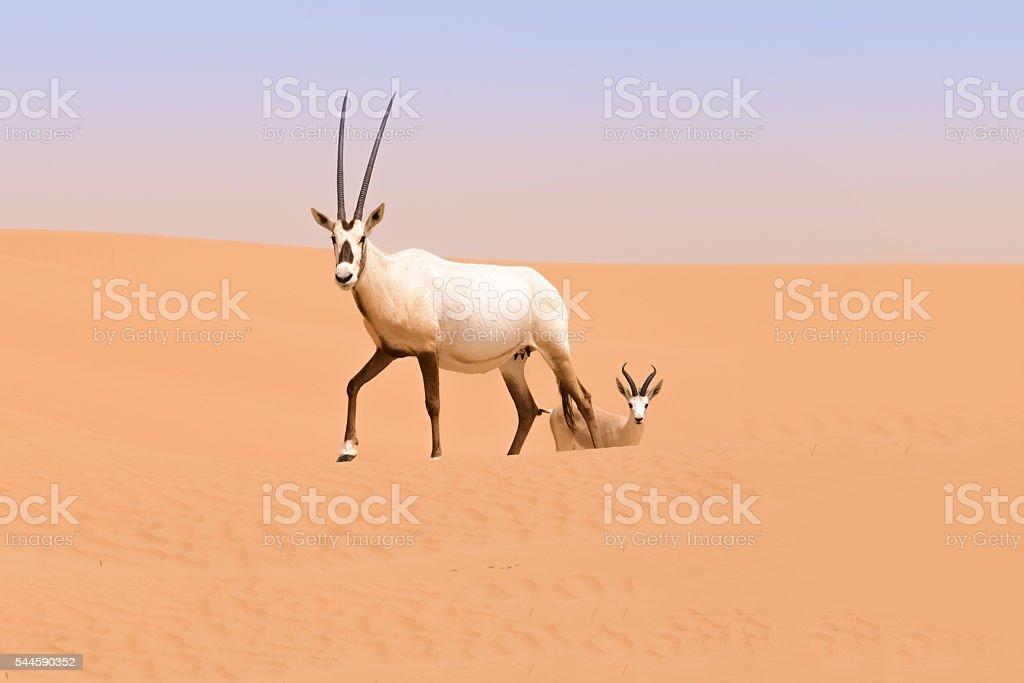 Oryx family, Dubai Desert Conservation Reserve, UAE stock photo