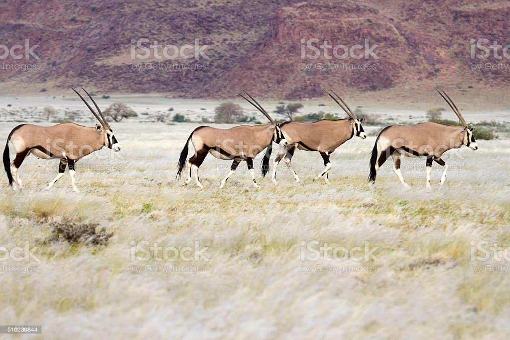 Oryx gemsbok herd walk Naukluft Mountains Namib Desert Namibia stock photo