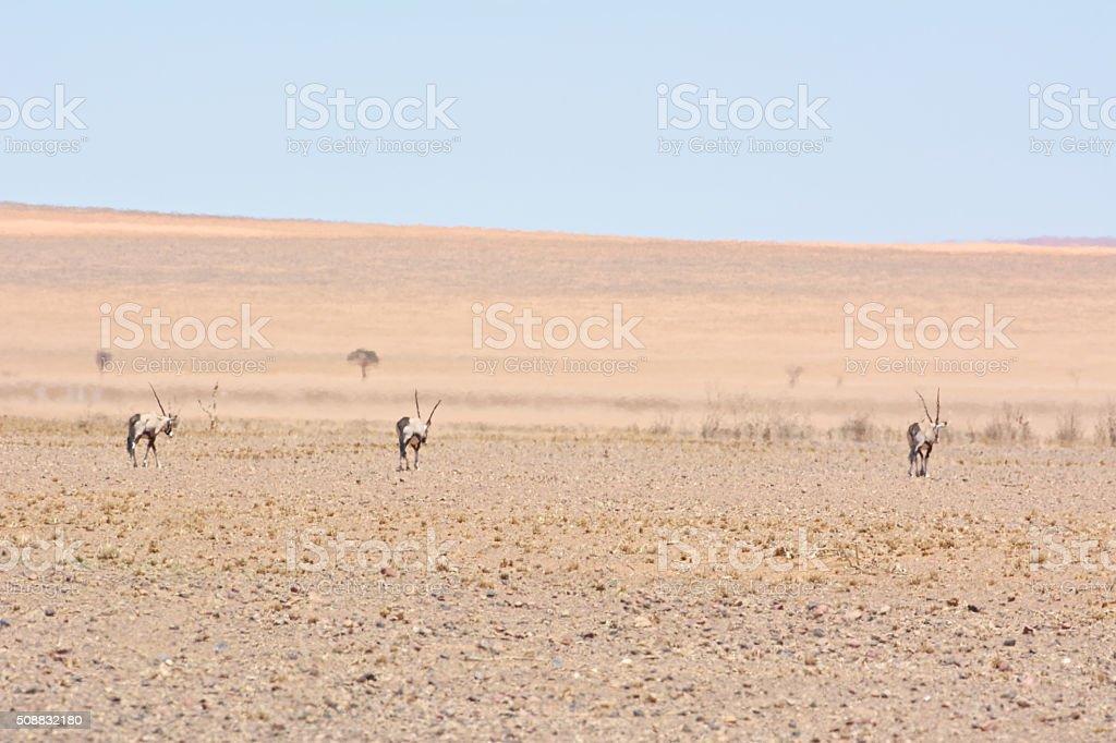 oryx heatwave stock photo