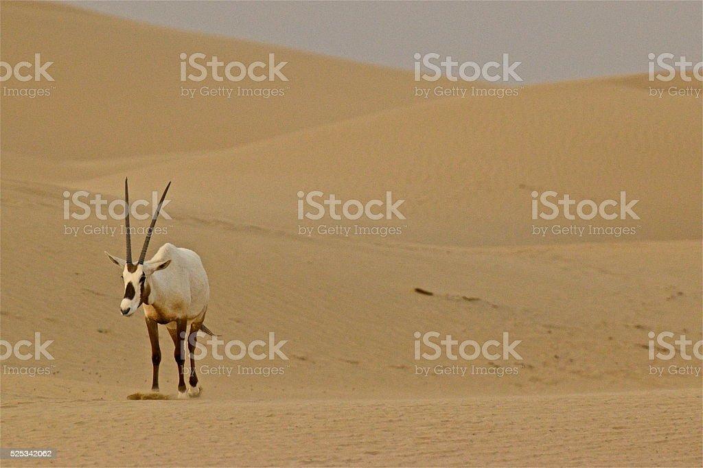 Oryx in Desert stock photo