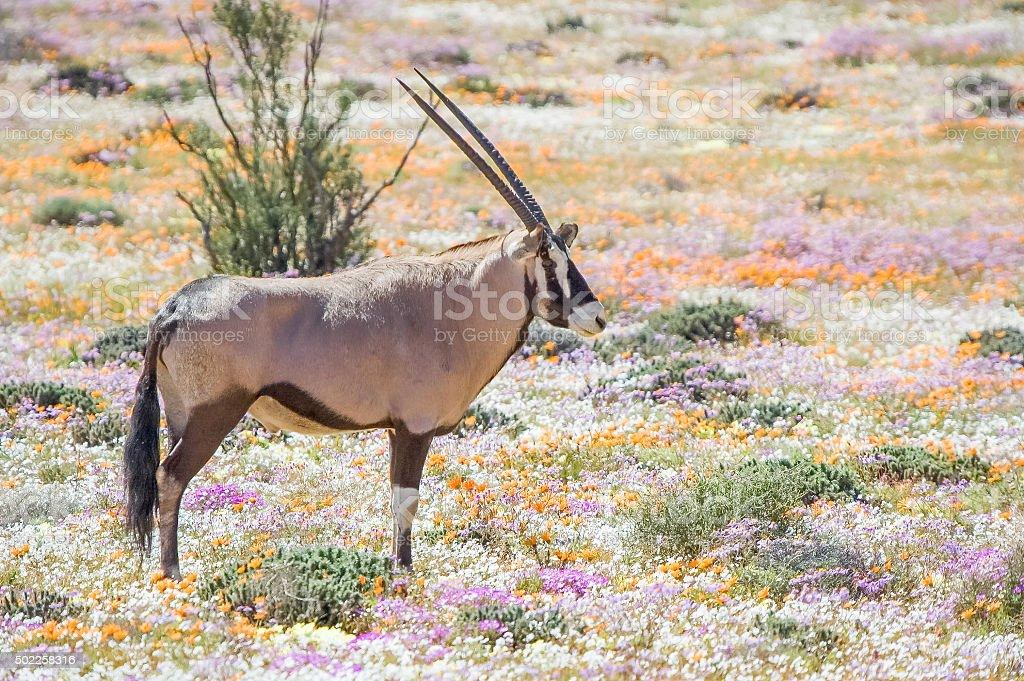 Oryx in flowers stock photo