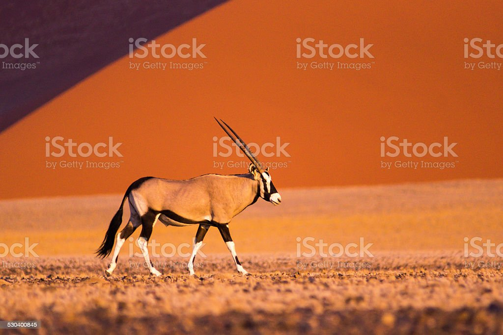 Oryx in Sossusvlei stock photo