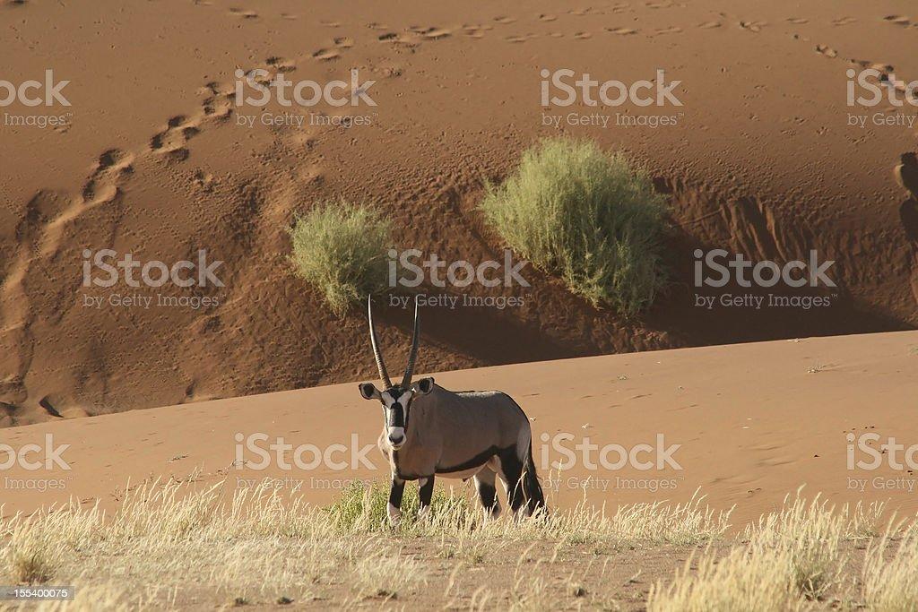 Oryx in the desert stock photo
