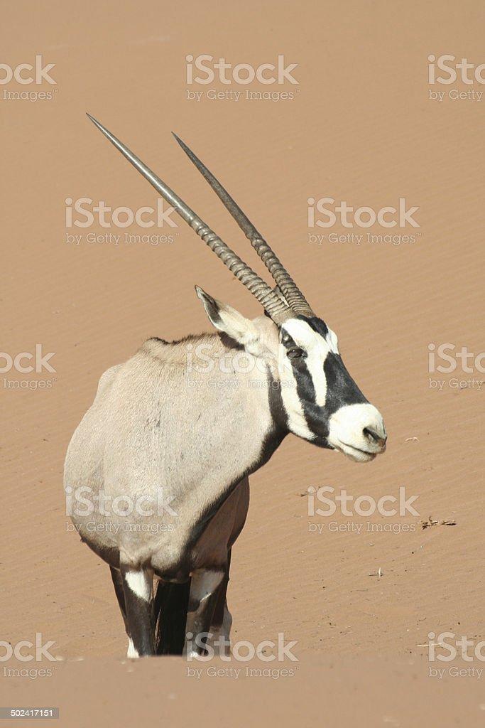 Oryx in the Dunes of Sossusvlei, Namib Desert, Namibia, Africa stock photo