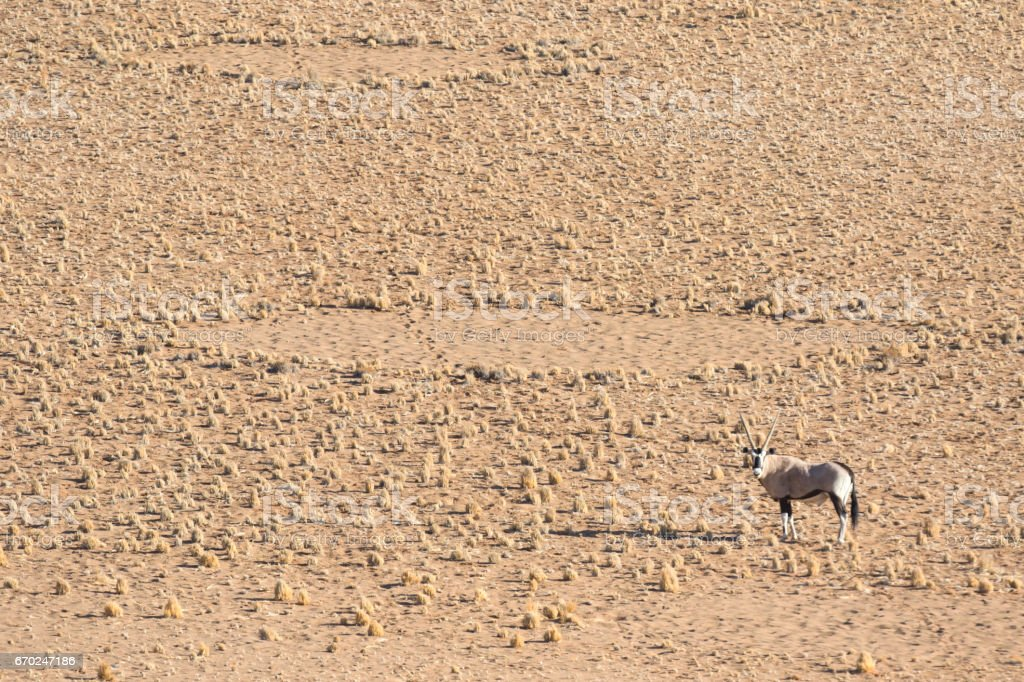 Oryx in the Namibian desert. with fairy circles in the background. stock photo