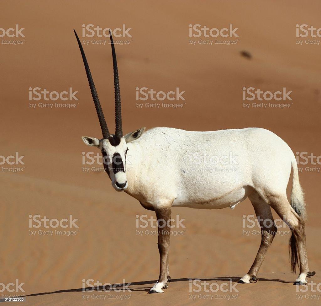 Oryx leucoryx; aka Arabian Oryx stock photo