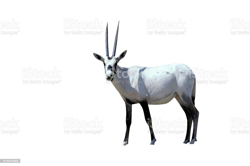 ARABIAN ORYX, Oryx leucoryx stock photo