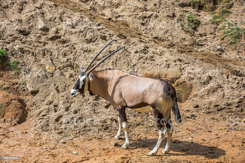 oryx Lizenzfreies stock-foto