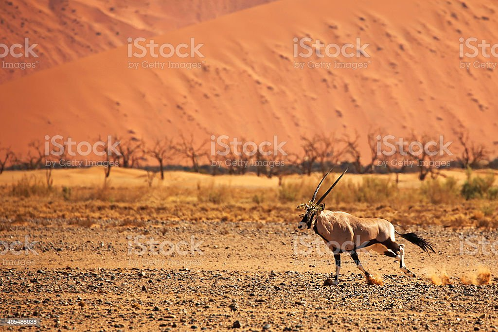 Oryx Running in Namib-Naukluft NP, Namibia stock photo