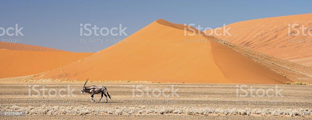 Oryx walking below huge sand dunes in Namibia stock photo