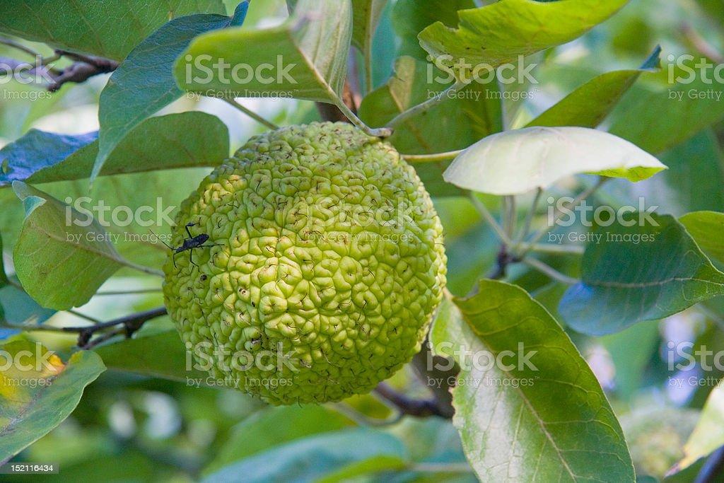 Osage Orange Fruit stock photo