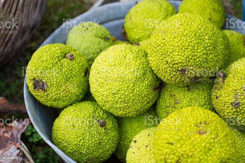 osage orange fruits stock photo