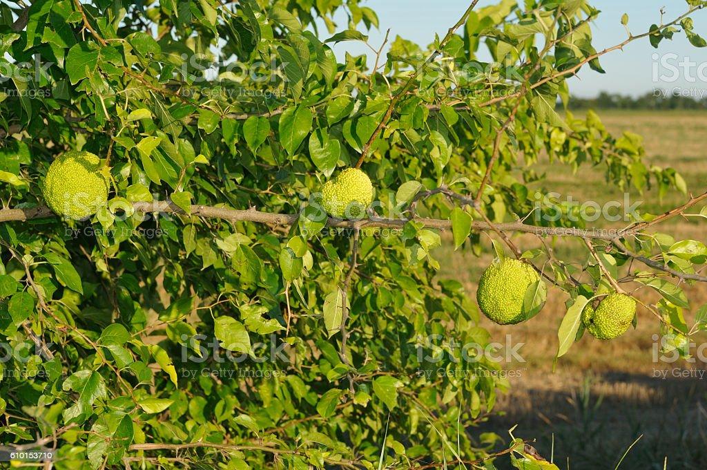 Osage orange (Maclura pomifera) stock photo