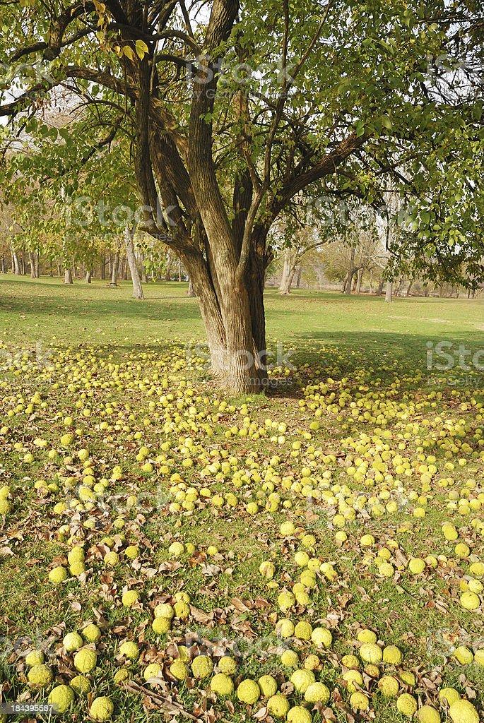 Osage orange tree with fruit littering ground stock photo