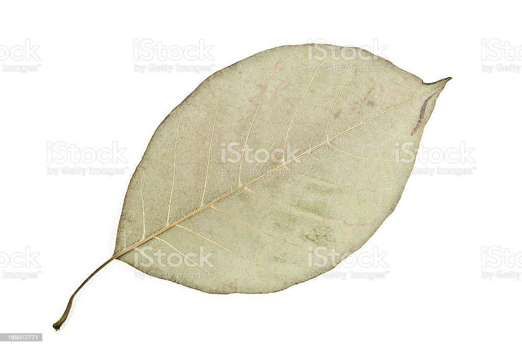 Osage-orange Leaf back - Maclura pomifera stock photo