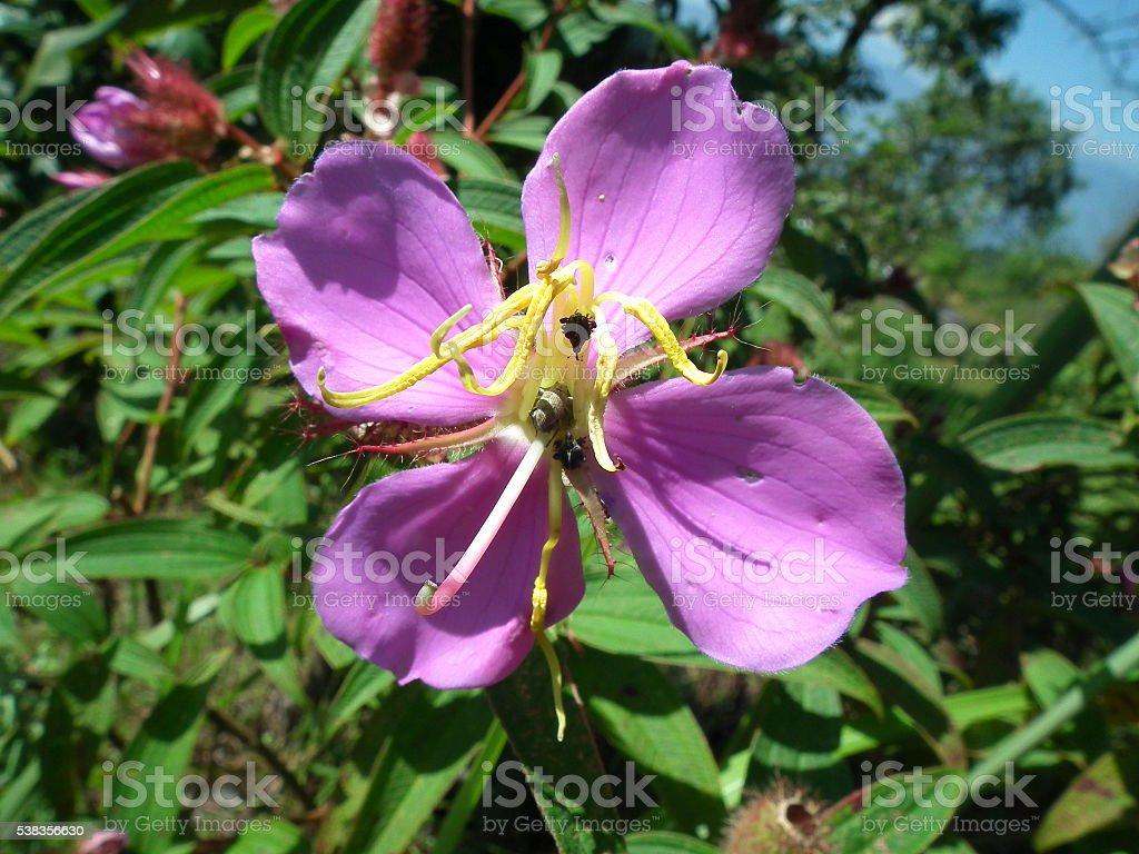 Osbeckia chinensis stock photo