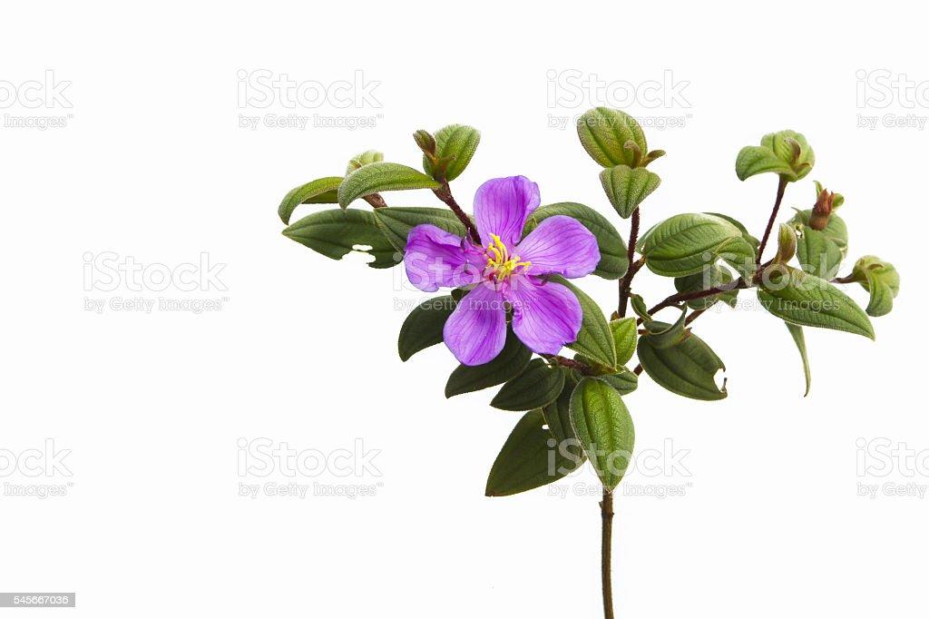 Osbeckia stellata Ham tropical plants purple shrubs isolate on w stock photo