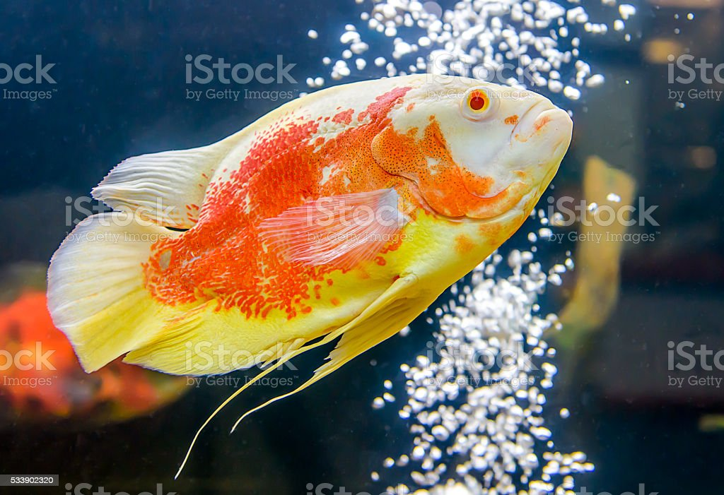Oscar Fish stock photo