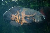 Oscar fish (Astronotus ocellatus).