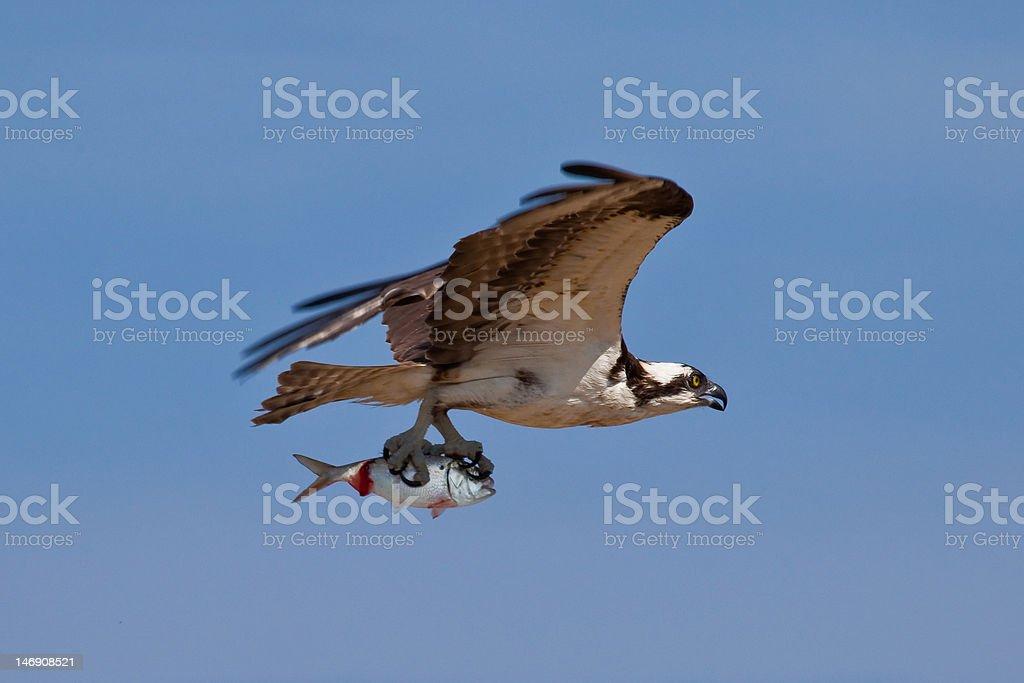 Osprey as Predator stock photo