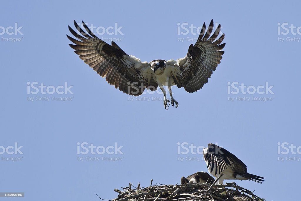 Osprey attacks a nest stock photo